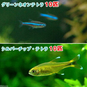 365日毎日発送 ペットジャンル1位の専門店(熱帯魚)グリーンネオンテトラ(10匹) + シル...