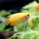 (熱帯魚)単品 ゴールデンハニー・ドワーフグラミー(1匹)
