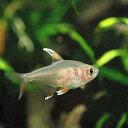 (熱帯魚)単品 ホワイトフィン・ロージーテトラ(1匹)