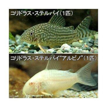 (熱帯魚)コリドラス・ステルバイ(1匹) + コリドラス・ステルバイ アルビノ(1匹) 北海道・九州・沖縄航空便要保温