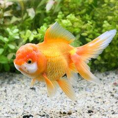 (国産金魚)オランダシシガシラ 赤勝ち〜更紗 志村養魚場産 明け3歳(1匹)