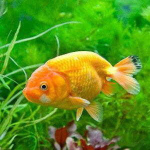 (国産金魚)らんちゅう(ランチュウ) 深見養魚場産 2歳(1匹)