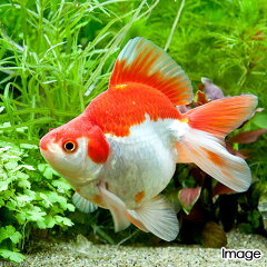 (国産金魚)更紗琉金(サラサリュウキン) 上物 3歳(1匹)