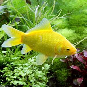 (国産金魚)ゴールデンコメット 短尾 3歳(1匹)