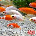 (国産金魚)コメットミックス(6匹)
