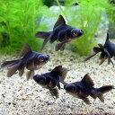 (国産金魚)よりなし(無選別) 黒出目金(クロデメキン)(3匹)