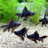 (国産金魚)よりなし(無選別) 黒出目金(クロデメキン)(5匹)