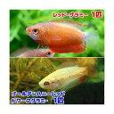(熱帯魚)ゴールデンハニーレッド・ドワーフグラミー(1匹) + レッド・グラミー(1匹)