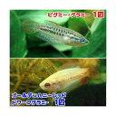 (熱帯魚)ゴールデンハニーレッド・ドワーフグラミー(1匹) + ピグミー・グラミー(1匹)