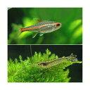 (熱帯魚)グローライト・テトラ(10匹) +ヤマトヌマエビ(3匹)