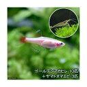 (熱帯魚)ゴールデンアカヒレ(10匹) + ヤマトヌマエビ(3匹)