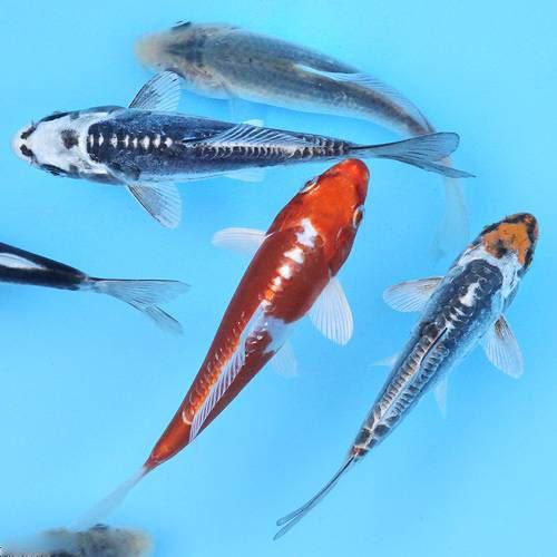 (錦鯉)錦鯉ミックス 25cm+-(5匹)