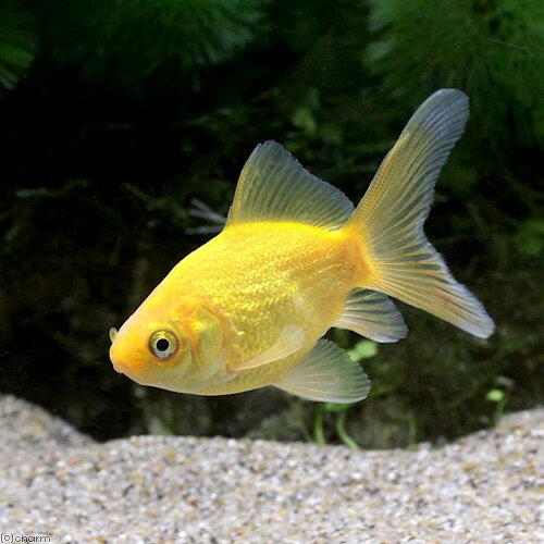 (国産金魚)金鱗玉黄金 木村養魚場産(1匹)