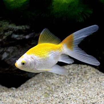 (国産金魚)金鱗玉黄金 黄色更紗 木村養魚場産(1匹) 沖縄別途送料