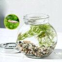 (熱帯魚)(水草)私の小さなアクアリウム ゴールデンアカヒレ...