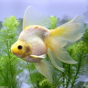 (国産金魚)一点物 白紅葉琉金 吉岡養魚場産 三歳(1匹)