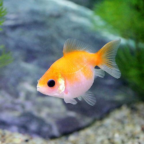 (国産金魚)ピンポンパール(3匹)