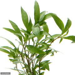 (水草)ハイグロフィラsp.シアメンシス 53B(トロピカポット)(無農薬)(1ポット分) 北…