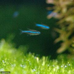 ▼グリーン・ネオン(10匹)《北海道・九州・沖縄航空便要保温》