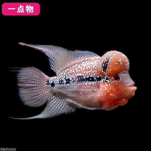 (熱帯魚)一点物 フラワーホーン 11~13cm(1匹)