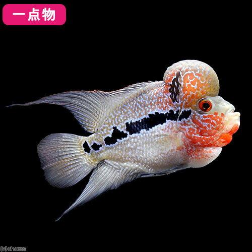 (熱帯魚)一点物 フラワーホーン 10~12cm(1匹)