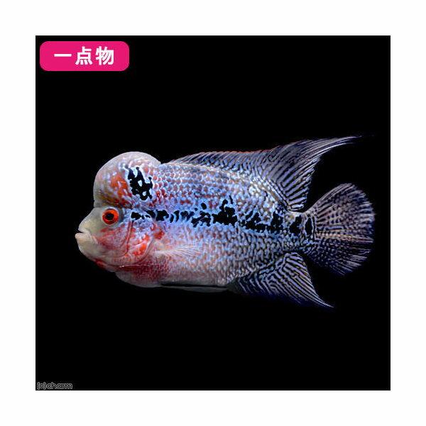 (熱帯魚)一点物 フラワーホーン 12~14cm(1匹)