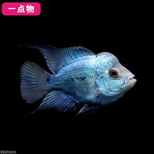 (熱帯魚)一点物 ショートボディフラワーホーン ラピスラズリ 6~8cm(1匹)