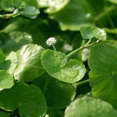 無農薬!(水草)アマゾンチドメグサ(水上葉)(6本) 北海道航空便要保温