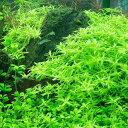 無農薬!■グリーンロタラ(5本)