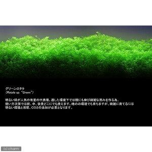 ■グリーンロタラ(5本)