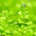 無農薬!気泡を付ける姿が美しい!(水草)ラージパールグラス(無農薬)(10本)