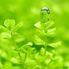 無農薬!気泡を付ける姿が美しい!■ラージパールグラス(5本)