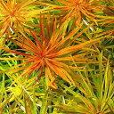 無農薬!水中葉の活きの良さが違う!■ルドウィジア インクリナータ キューバ(水上葉)(3本)