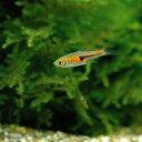 (熱帯魚)ラスボラ・エスペイ(6匹)