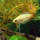 (熱帯魚)ゴールデンハニーレッド・ドワーフグラミー(3匹)