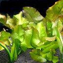 (ビオトープ/水辺植物)コウホネ(1ポット)...