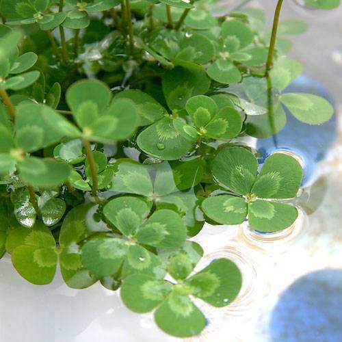 (ビオトープ)水辺植物 メダカの鉢にも入れられる水辺植物 ウォータークローバー ムチカ(1ポット) 抽水〜浮葉植物