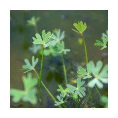 (水辺植物)フギレデンジソウ(1ポット分)