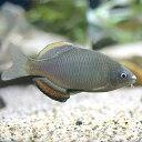 (淡水魚)アブラボテ(2匹)