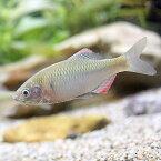 (淡水魚)ヤリタナゴ(4匹)