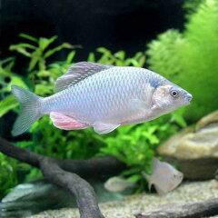 (淡水魚)カネヒラ(1匹)