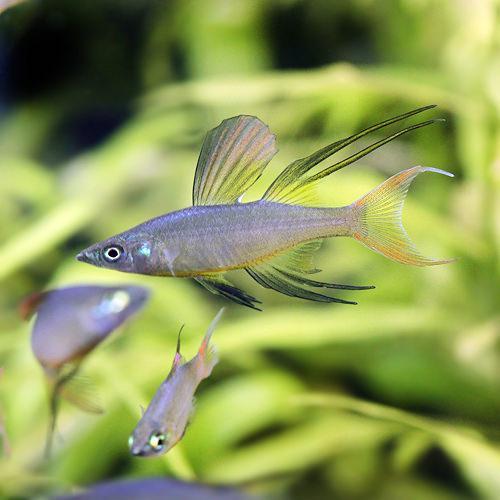 (熱帯魚)ニューギニアレインボー(4匹) 北海道・九州・沖縄航空便要保温