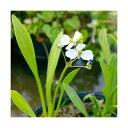 (ビオトープ)水辺植物 ナガバオモダカ(グラミネア)(1ポット) 抽水植物
