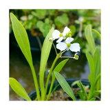 (ビオトープ/水辺植物)ナガバオモダカ(グラミネア)(1ポット分)