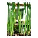 (ビオトープ)水辺植物 菖蒲 ニオイショウブ(1ポット分) 湿性植物