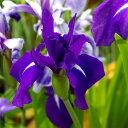 (ビオトープ)水辺植物 カキツバタ 羅生門(ラショウモン)紫花(1ポット分)