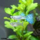 (熱帯魚)ブルーグラス・グッピー(国産ブリード)(1ペア) 北海道・九州・沖縄航空便要保温
