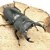 (昆虫)国産オオクワガタ 山梨県韮崎市産 幼虫(初〜2令)(3匹)
