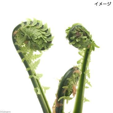 (山野草)山菜 コゴミ(クサソテツ) 3〜4号(1ポット) 家庭菜園