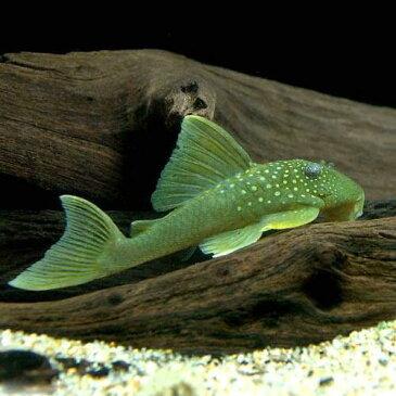 (熱帯魚)ゴールデンブルーフィン・プレコ Sサイズ(1匹) 北海道・九州・沖縄航空便要保温